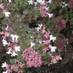abelia-rose-creek