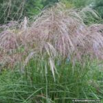 maiden-grass-morning-light