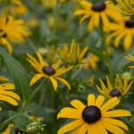summer-landscaping -tips-rudbeckia-black-eyed-susan
