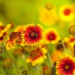 beneficial-Insects-coreopsis