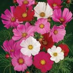 beneficial-Insects-cosmos