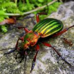 beneficial-insects-gold-ground-beetle