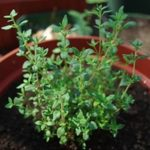 beneficial-Insects-thyme
