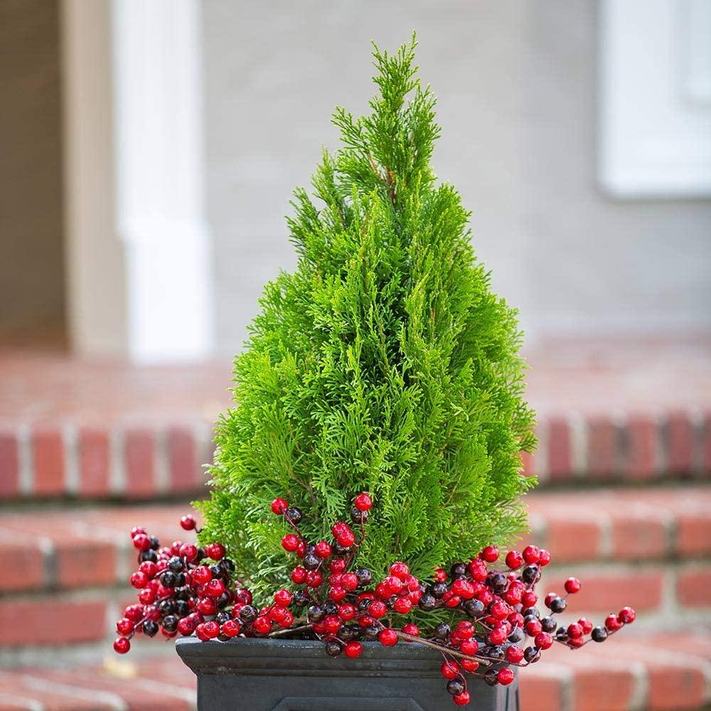 deer-resistant-plants-Arborvitae