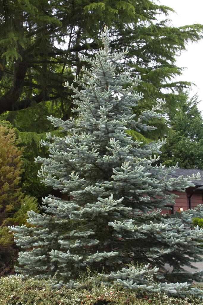 deer-resistant-plants-Colorado-Blue-Spruce