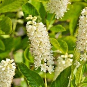 shade-plants-sweet-pepperbush