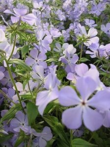 shade-plants-wild-blue-phlox