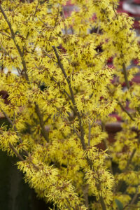 Arnold-Promise-Witch-Hazel