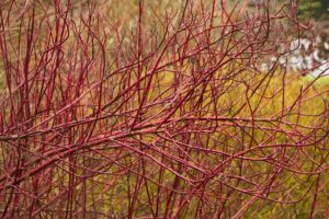 Red-Twig-Dogwood