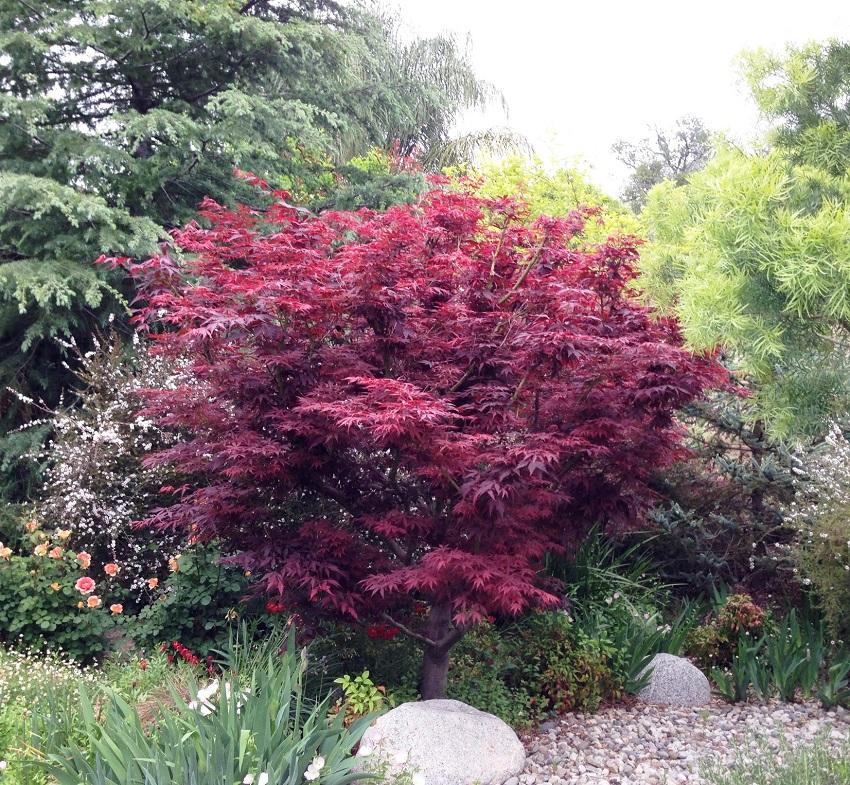 red-leaf-japanese maple