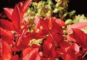 red virgiania sweetspire