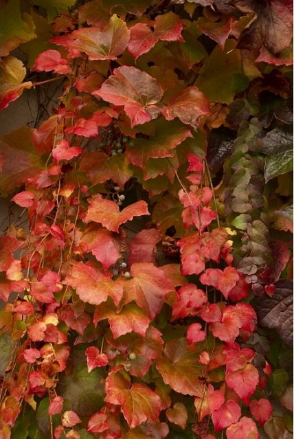 boston-ivy-living-wall-outdoors