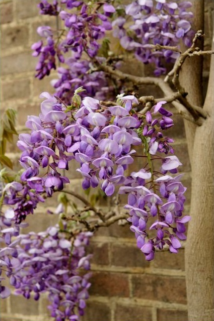 wisteria-living-wall-outdoors